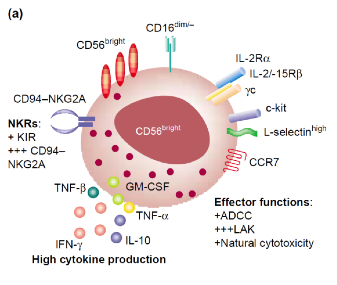 NK Cell Structure