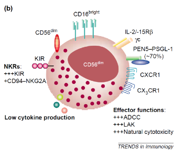 Effective NK Cell Structure