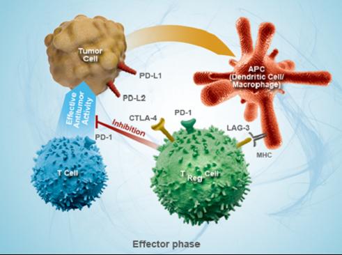 Regulatory T Cell ( Treg Cell ) duty